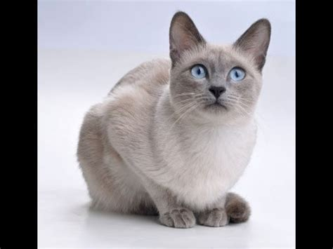 The Real Cutest Blue Point Siamese Cat In The World