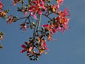 Was Ist Das Für Ein Baum : was ist das f r ein baum florettseidenbaum ceiba speciosa willkommen bei uns im spanien forum ~ Buech-reservation.com Haus und Dekorationen