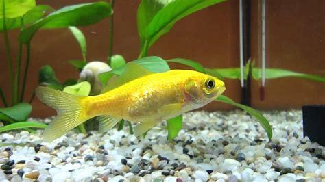 yellow goldfish youtube
