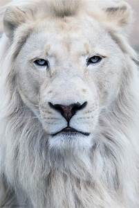 White Lion by Scott D. ~Blue Blue Eyes~ | Blue Blue Eyes ...
