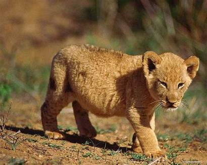 Lion Cute Cub Wallpapers Animals Cubs Wild