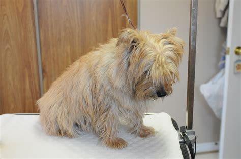 hand stripping terrier hand stripping grooming for