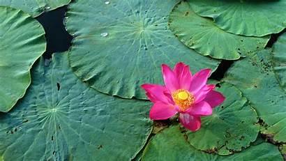 Lotus Flower Wallpapers Flowers Bing Water