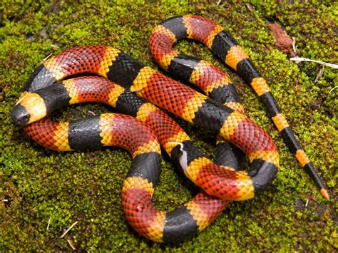 Coral Snake 54
