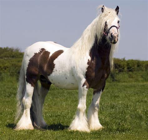 midget horse gypsy horses stallion vanner foal vannercentral