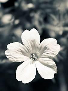 Download White Flower Mobile Wallpaper | Mobile Toones