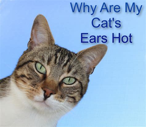 ears why cat cats reasons caring whenever immensely owners become pet start