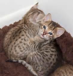 savana cat kitten perseus f5 sbt agato cats
