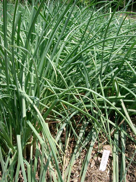 allium chinense images useful tropical plants
