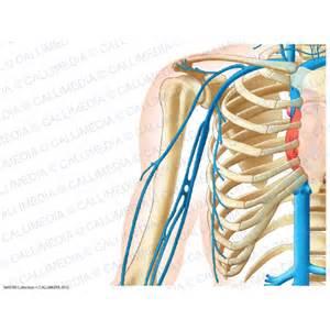 Shoulder Arm Anatomy Veins