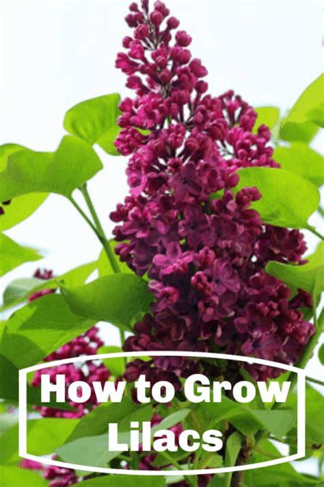 lilacs grow growing overlay text
