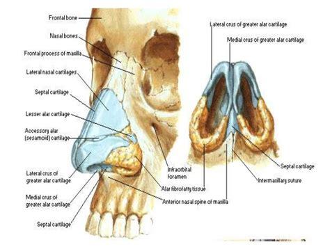 Diagram Of Interior Of Nose