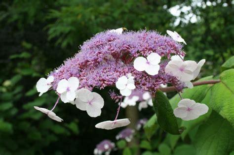 Passende Hortensien Pflege Für Wesentlich Mehr Blüten