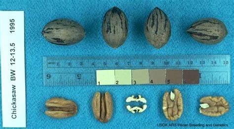 pecan cultivars chickasaw