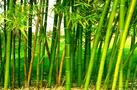ccea approves restructured national bamboo mission