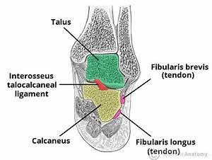 The Subtalar Joint - Ligaments - Neurovascular ...