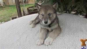 Wolf Dog Puppy for Sale: Siberian Husky mix Timber and ...