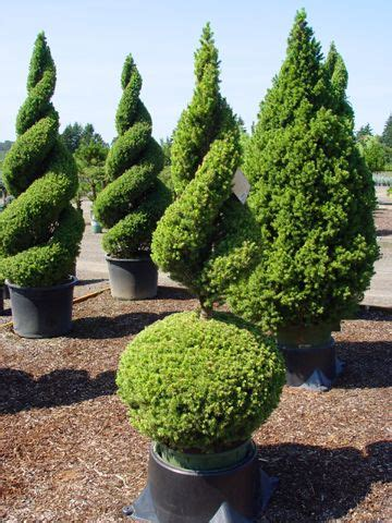 boxwood topiary trees topiaries spirals and trees and shrubs on 1773