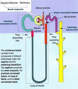 Structure Of A Kidney Nephron  Basic Diagram Of A Kidney