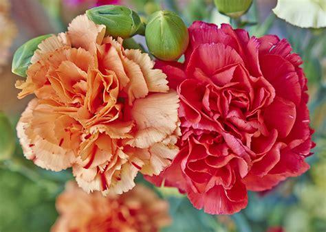 fiori garofano garofano significato simbologia e linguaggio garofano