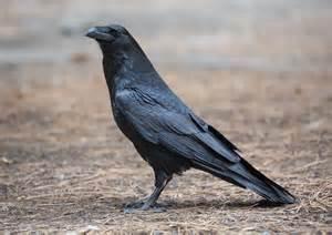 file corvus corax common raven yosemite np ca us
