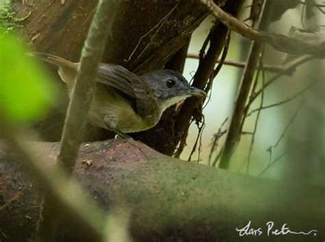 Blackcap Illadopsis - Cameroon - Bird images from foreign ...