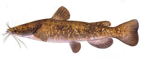 details flathead catfish