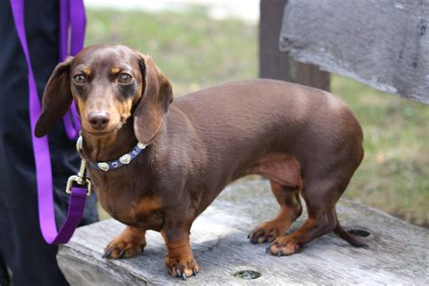 Why Nestlé The Miniature Dachshund Is So Super
