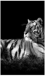 White Tiger Backgrounds - Wallpaper Cave