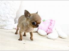 Coco Micro Teacup Chihuahua Boutique Teacup Puppies Flickr