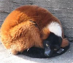 Dennys Funny Qu... Cute Lemur Quotes