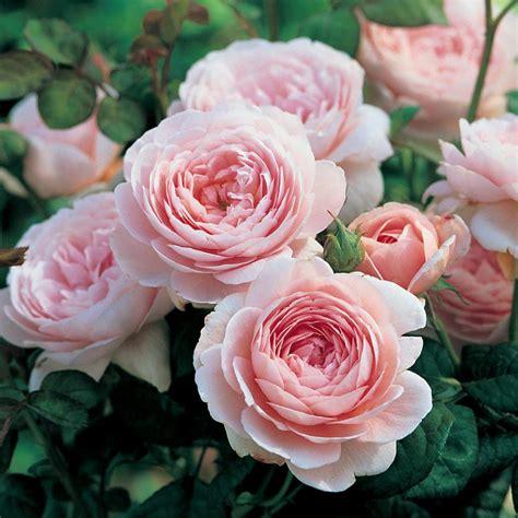 austen roses queen of sweden disease resistant roses popular searches