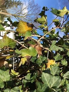 Hortensien Blätter Werden Braun Frost : bl tter von efeu fertighecke werden braun ist das ein ~ Lizthompson.info Haus und Dekorationen