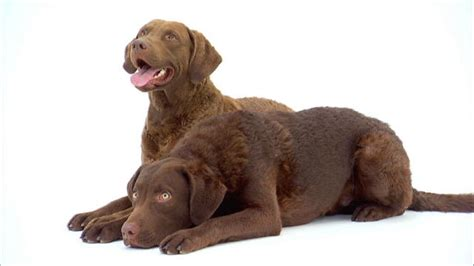 chesapeake bay retriever vs lab shedding chesapeake bay retriever temperament names rescue adoption
