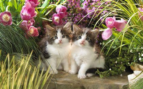 kittens   tulip garden  animal wallpaper