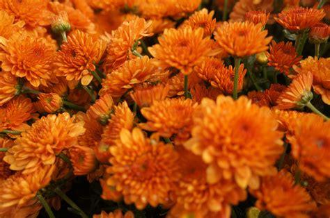 Orange mums. (With images) | Orange, Flowers