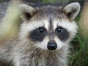 Doctors Gates: Raccoon eyes ,a sign for basal skull fracture