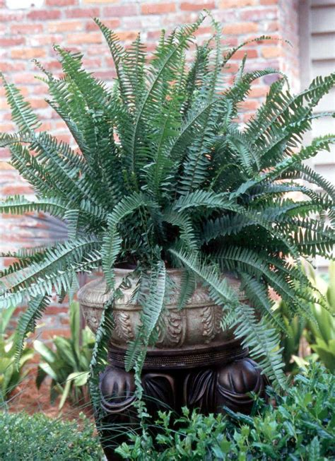 kimberly queen macho challenge boston ferns mississippi