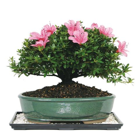 brussels bonsai satsuki azalea bonsai dt az
