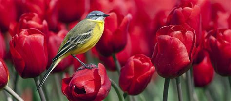 Picture » Spring Season Cover Bird On Tulips