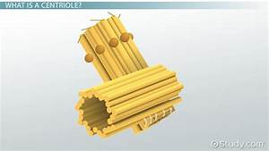 Centriole: Definition, Structure & Function - Video ...