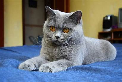 Handsome Shorthair British Cat Cats Young Animals