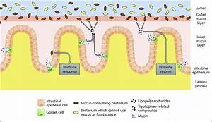 Interactions Between The Intestinal Mucus And The