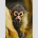 Baby Spider Monkey Pictures | 470 x 661 jpeg 119kB