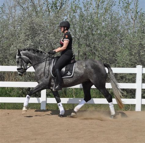 andalusian cf warmblood sales olive