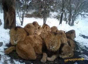 TIERE Löwen kuscheln sich zusammen Die besten 100
