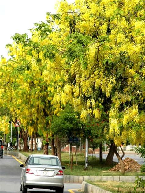 golden shower pohon lindung berbunga berkarya