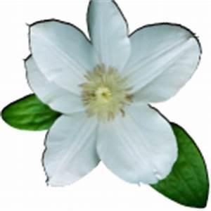 Clematis Für Schatten : clematis wadas primrose kletterpflanze im schatten das gartenmagazin ~ Frokenaadalensverden.com Haus und Dekorationen