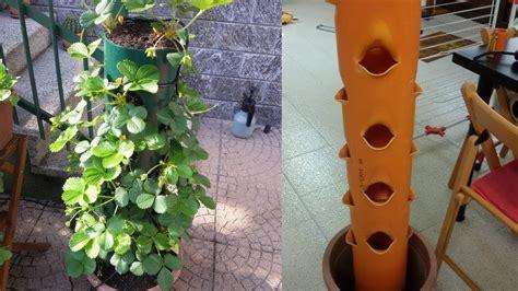 fragole in vaso coltivazione coltivare fragole in vaso verticale sul balcone