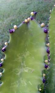Euphorbia Trigona Vermehren : euphorbia question from florida cactus jungle ~ Orissabook.com Haus und Dekorationen